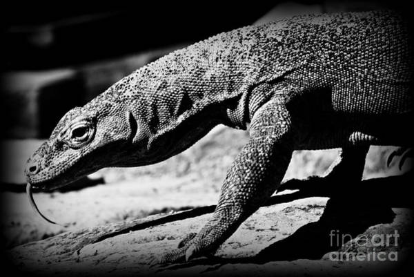 Daguerrotype Photograph - Young Komodo by Clare Bevan
