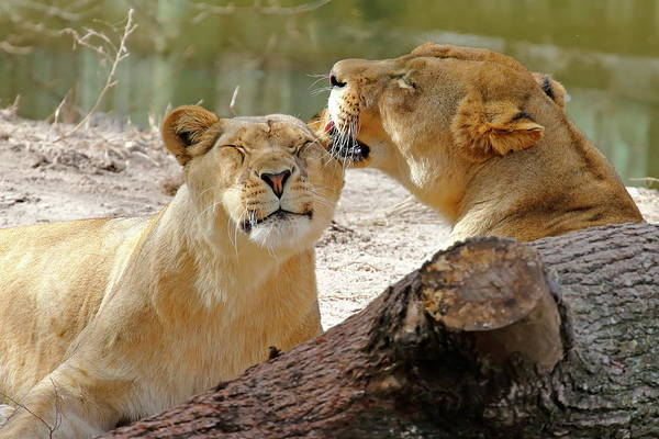 Nfs Photograph - Young Lion Friends by Daniel Caracappa