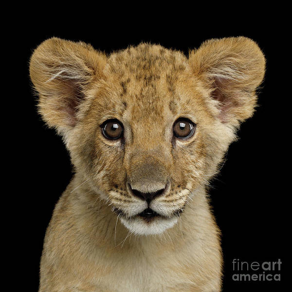 Photograph - Young Lion by Sergey Taran