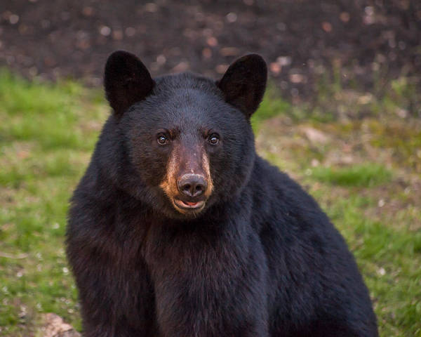 Photograph - Young Male Black Bear by Brenda Jacobs