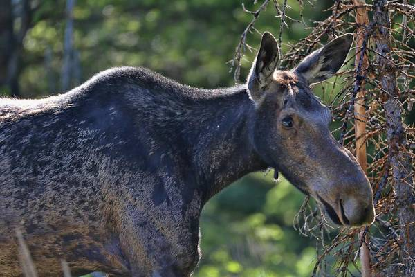 Photograph - Young Moose In Grand Tetons by Dan Sproul