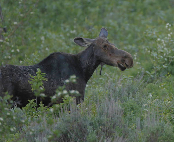 Photograph - Young Moose In The Tetons by Dan Sproul