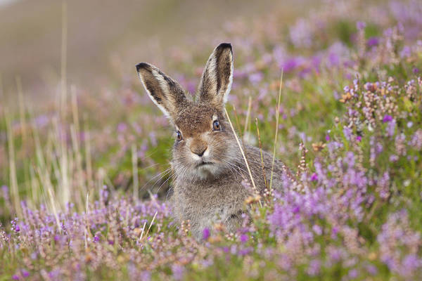 Photograph - Young Mountain Hare In Purple Heather by Karen Van Der Zijden