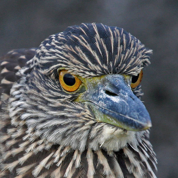Photograph - Young Night Heron by Larry Linton