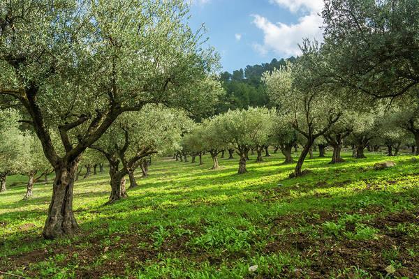Olive Branch Digital Art - Young Olive Grove by Tsafreer Bernstein
