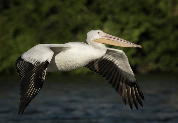 Photograph - Young Pelican 2016-1 by Thomas Young