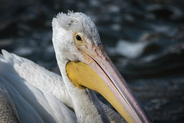 Photograph - Young Pelican 2016-4 by Thomas Young