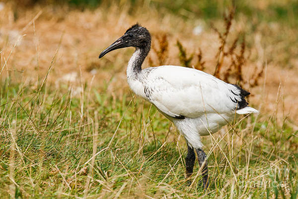 Photograph - Young Sacred Ibis by Nick  Biemans