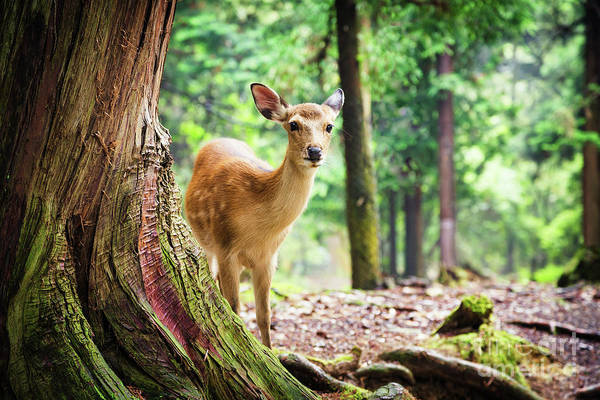 Wall Art - Photograph - Young Sika Deer In Nara Park by Jane Rix
