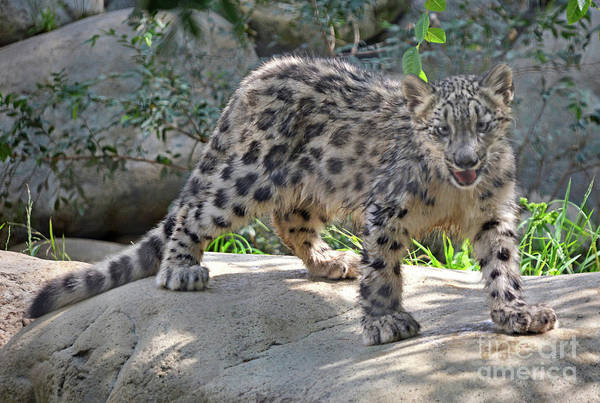 Snow Leopard Wall Art - Photograph - Young Snow Leopard by Dan Holm