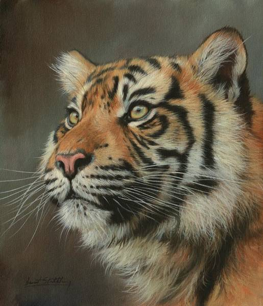 Bengal Tiger Painting - Young Sumatran Tiger Portrait by David Stribbling