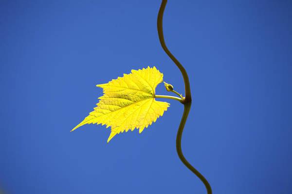 Cultivation Digital Art - Young Vine Leave by Matjaz Preseren