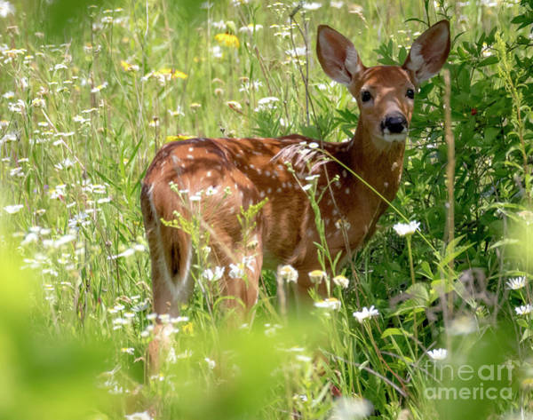 Photograph - Young White-tailed Deer by Ricky L Jones