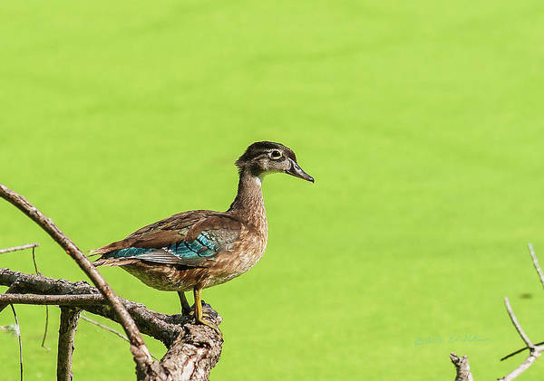 Photograph - Young Wood Duck Hen by Edward Peterson