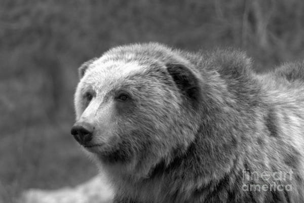 Photograph - Young Yellowstone Grizzly Black And White by Adam Jewell