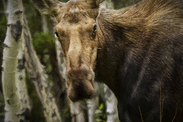 Photograph - You're The Boss Momma Moose by Belinda Greb