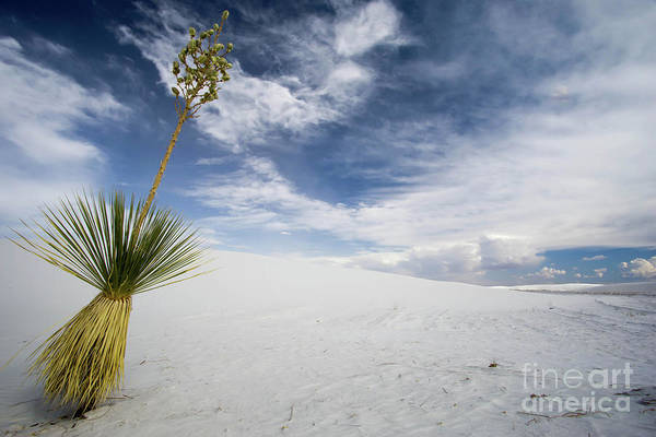 White Sand Photograph - Yucca by DiFigiano Photography