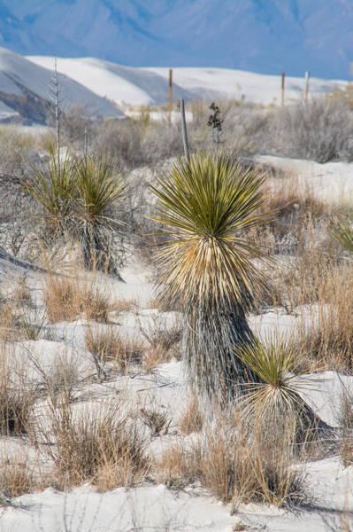Photograph - Yucca by Racheal Christian