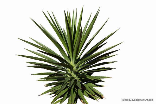 Photograph - Yucca by Richard Goldman