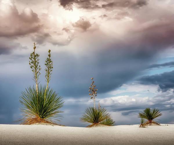 Yucca Elata Wall Art - Photograph - Yucca Three 5x6 by James Barber