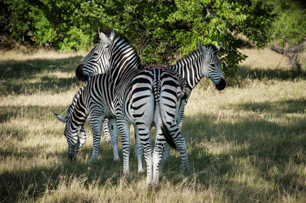 Photograph - Three Zebras by Adele Aron Greenspun