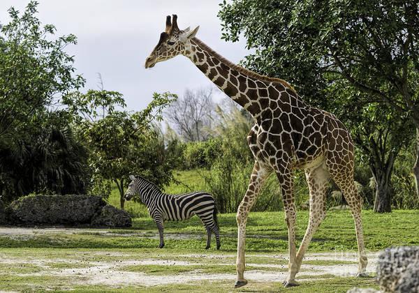 Photograph - Zebra And Giraffe by Les Palenik