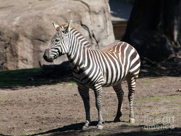 Photograph - Zebra At The San Francisco Zoo San Francisco California 5d3165 by Wingsdomain Art and Photography