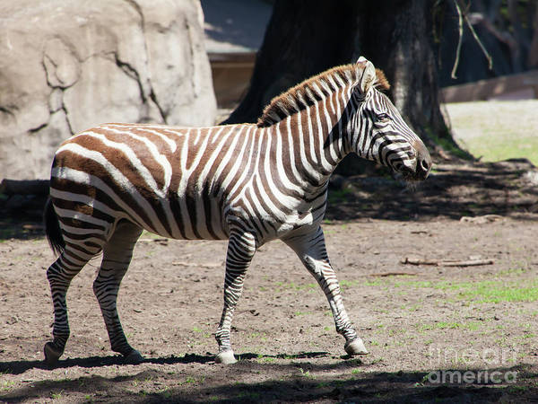 Wall Art - Photograph - Zebra At The San Francisco Zoo San Francisco California 5d3168 by Wingsdomain Art and Photography