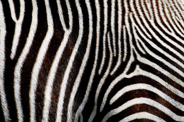 Wall Art - Digital Art - Zebra Black  by Mark Ashkenazi