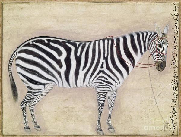 Photograph - Zebra, C1620 by Granger