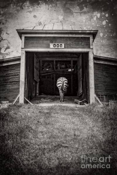 Founded Photograph - Zebra by Edward Fielding