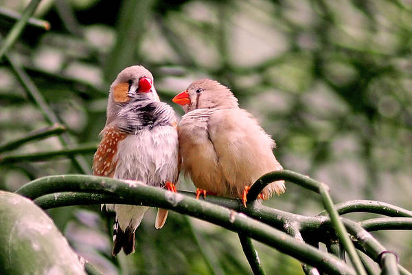 Photograph - Zebra Finch Colloquy by Rona Black