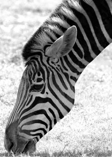 Photograph - Zebra Grazing by Sabrina L Ryan