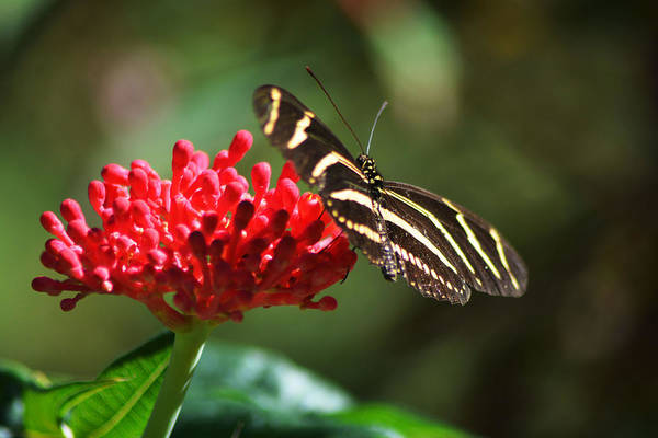 Zebra Heliconia Butterfly Art Print