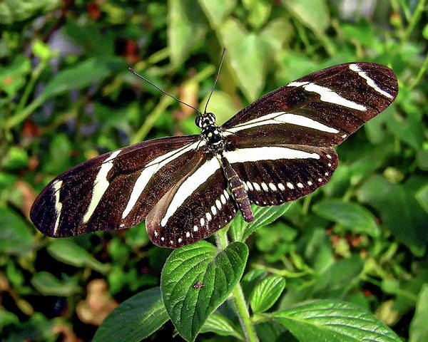 Photograph - Zebra Heliconian Butterfly by Anthony Dezenzio