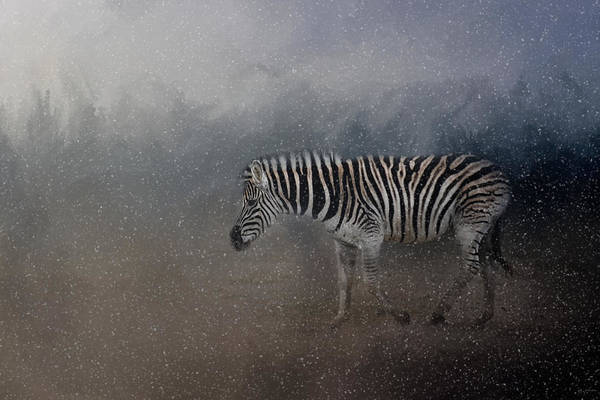 Photograph - Zebra In A Snow Storm by Jai Johnson