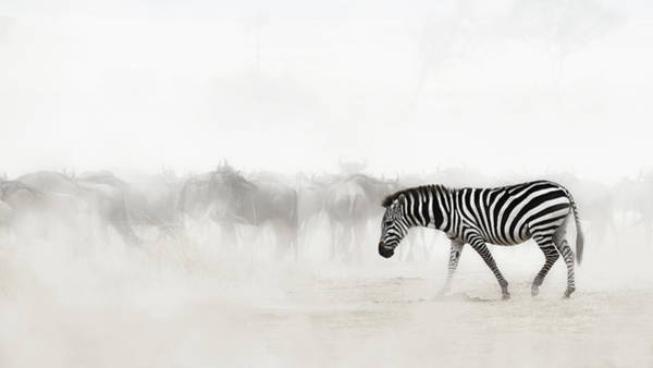 Dusty Photograph - Zebra In Dust Of Africa by Susan Schmitz