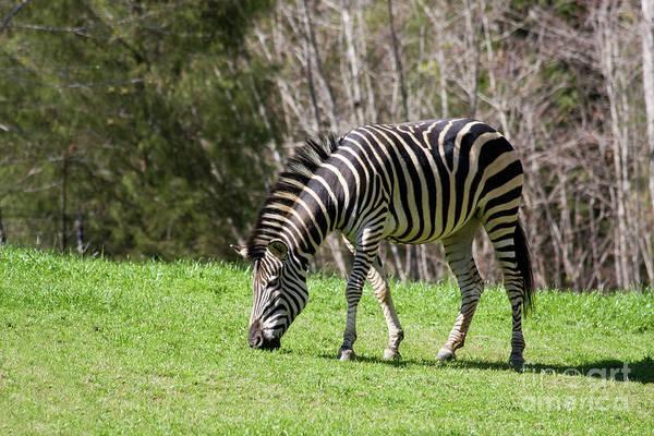 Photograph - Zebra by Jill Lang