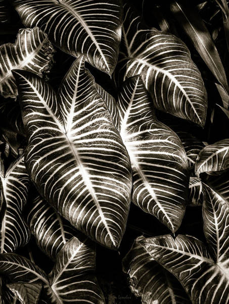 Zebra Pattern Photograph - Zebra Leaves by Wim Lanclus