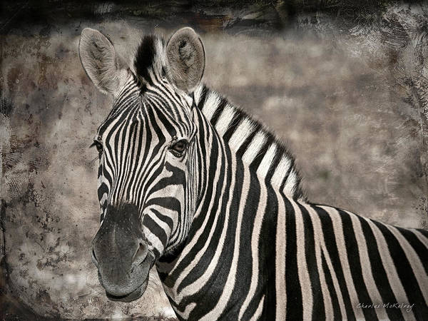 Photograph - Zebra Lines by Charles McKelroy