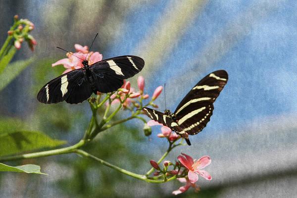 Photograph - Zebra Longwing Butterflies by Bonnie Follett