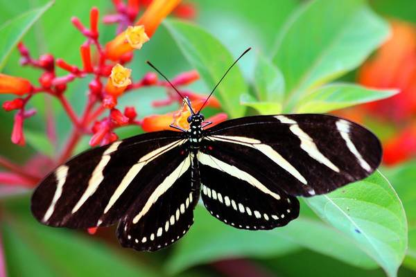 Photograph - Zebra Longwing Butterfly by Carol Montoya