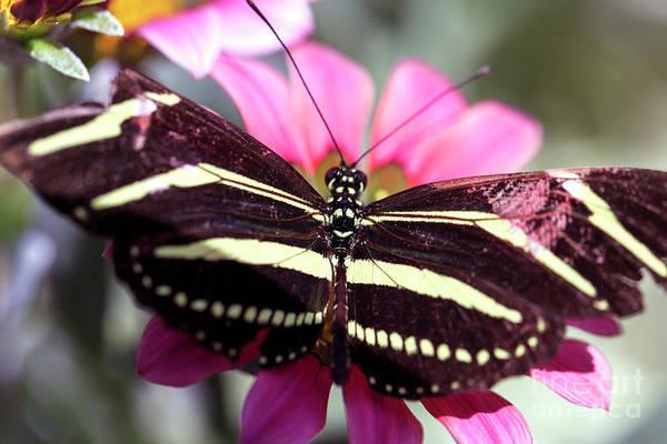 Photograph - Zebra Longwing Butterfly by John Rizzuto