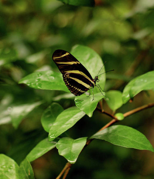 Photograph - Zebra Longwing Butterfly by Sandy Keeton