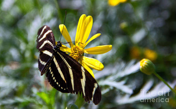 Photograph - Zebra Longwing Feeding by Kelly Holm