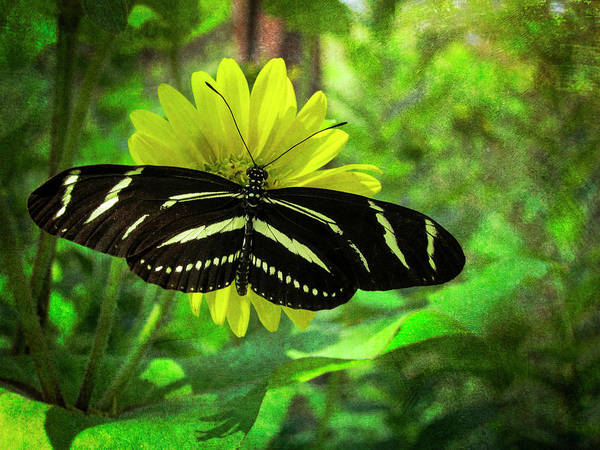 Photograph - Zebra Longwing by Mary Lee Dereske