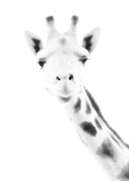 Photograph - Zebra Looks At You That Way by Hal Halli
