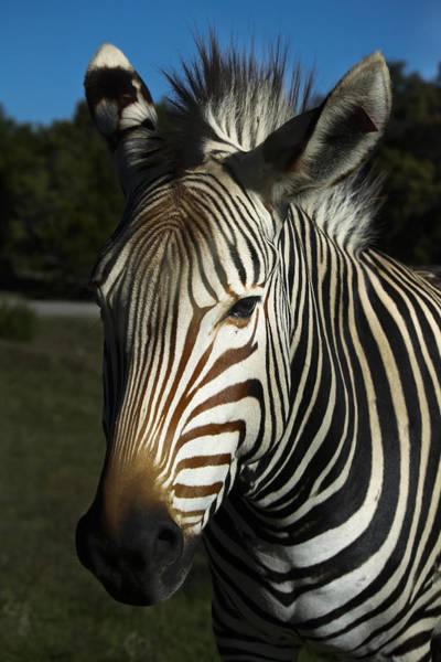 Photograph - Zebra Looks by Joan Carroll