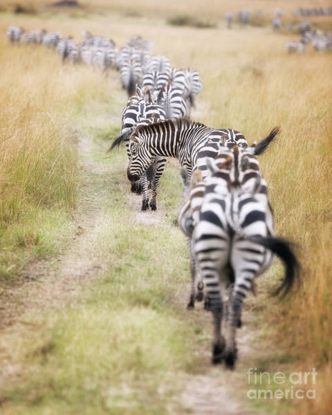 Zebra Pattern Photograph - Zebra Migration In  The Masai Mara by Jane Rix