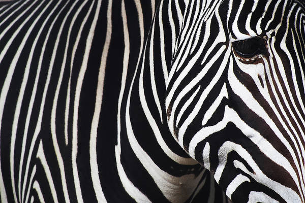 Wall Art - Photograph - Zebra Close-up by Mihaela Pater